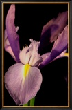 Sweet Iris I Print by Renee Stramel