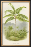 Tree Fern (Hemitelia Lindeni) Prints by Georg Dionysius Ehret
