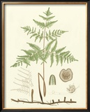 Eaton Ferns III Print by Daniel C. Eaton