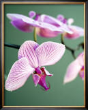 Pink Orchid Prints by Amelie Vuillon
