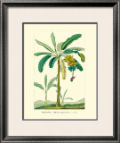 Banana, Musa Sapientum Framed Giclee Print by Ch. Lemaire