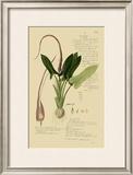 Aroid Plant II Prints by A. Descubes