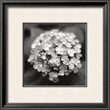 Hydrangea Print by Dana Buckley