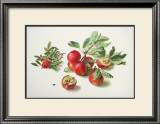 Apples and a Rose Prints by Carlos Von Riefel