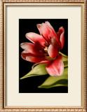 Red Tulip III Posters by Renee Stramel