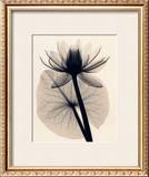 Tropical Water Lily Prints by Judith Mcmillan