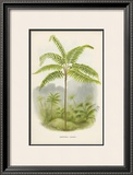 Tree Fern (Hemitelia Lindeni) Prints by Georg Dionysius Ehret