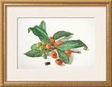 Medlar and Fruit Prints by Carlos Von Riefel