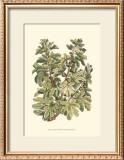 Fig Tree Branch Print by Henri Du Monceau