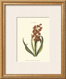 Antique Hyacinth V Poster by Christoph Jacob Trew