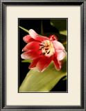 Red Tulip II Posters by Renee Stramel
