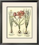 Bulb Garden IV Prints by Besler Basilius