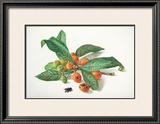 Medlar and Fruit Print by Carlos Von Riefel