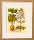 Lilium Montanum I Print