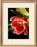 Red Tulip IV Prints by Renee Stramel