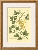 Grapes II Prints by Johann Wilhelm Weinmann
