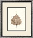 India Ficus Posters by Alan Blaustein