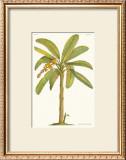 Banana Plant Prints by Georg Dionysius Ehret