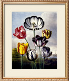 Tulips Prints by Dr. Robert J. Thornton