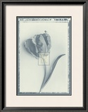 Tulip Impression II Posters by Bill Philip