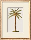 Coconut Palm Tree Prints by Georg Dionysius Ehret