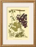 Grapes I Print by Johann Wilhelm Weinmann