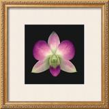 Dendrobium Prints by Harold Feinstein