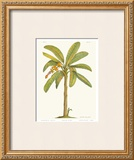 Banana Plant Posters by Georg Dionysius Ehret