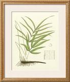 Eaton Ferns I Poster by Daniel C. Eaton