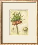 Crown Imperial Lily Poster by Meg Page