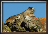Marmot in Alaska Framed Giclee Print by Charles Glover