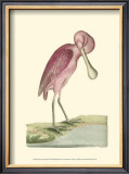 Roseate Spoonbill Print by Frederick P. Nodder
