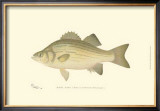 White Bass Poster by Denton 