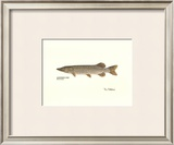 Northern Pike Fish Posters by Ron Pittard