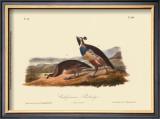California Partridge Posters by John James Audubon