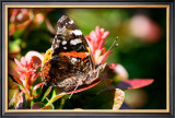 Red Admiral Posters by Antonia Illsley