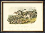Marmot Squirrel Prints by John James Audubon