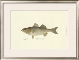 Striped Bass Posters by Denton 