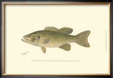 Small-Mouthed Black Bass Print by  Denton