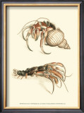 Hermit Crabs I Prints by Frederick P. Nodder