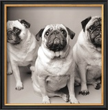Three Pugs Prints by Amanda Jones