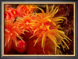 Orange Anemone, Ito Sea Art by Charles Glover