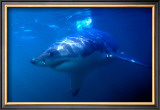 Great White Shark on Ocean Patrol Print by Charles Glover