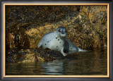 Seal Surprise Framed Giclee Print by Charles Glover