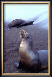 Stretching Seal, Galapagos Framed Giclee Print by Charles Glover