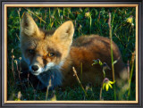 Fox in Alaska Spring Flowers Framed Giclee Print by Charles Glover
