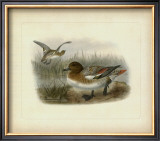 Redcrested Pochard Posters by J. G. Keuleman
