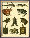 Oken Amphibians Posters by Lorenz Oken