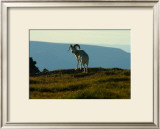 Dahl Sheep, Alaska Framed Giclee Print by Charles Glover