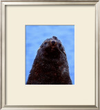 Fur Seal, Antarctica Prints by Charles Glover
